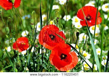 Red Poppy flowers in the green field