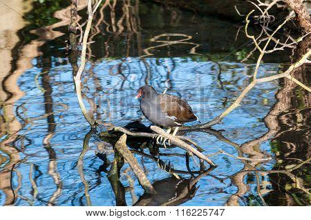 Moorhen on a branch