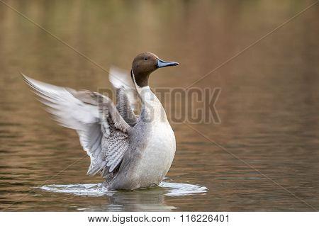 Northern Pintail Male, Anas Acuta