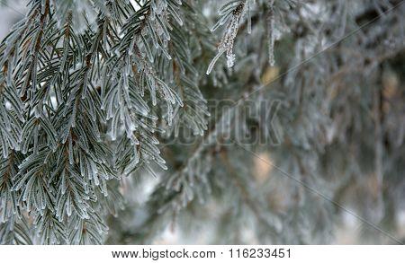 snow-cowered fir branches