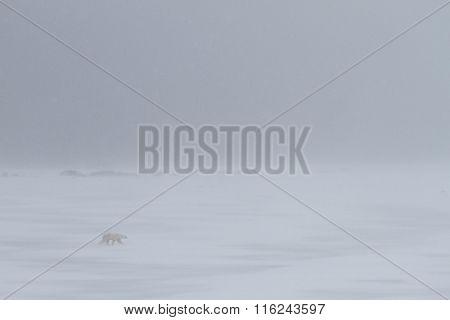 Polar Bear walking in a whiteout Snowstorm