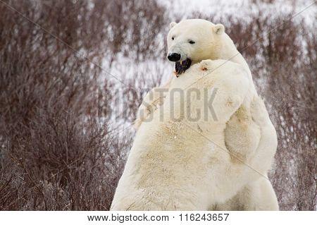 Polar Bears Sparring In Bushes