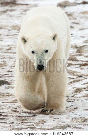 Polar Bear Walking Toward Camera
