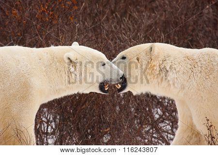 Two Polar Bears Meeting