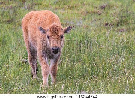 Tiny Newborn Bison Calf