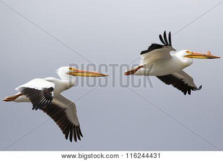 White Pelican Pair In Flight