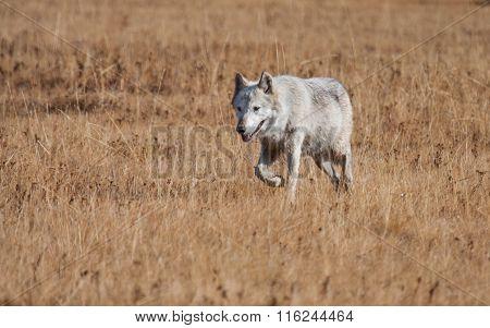 White Wolf Walking In Yellow Grass