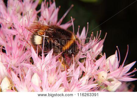 Large Earth Bumblebee (bombus Terrestris)