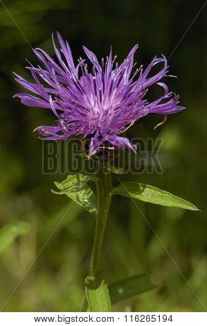 Common or Black Knapweed
