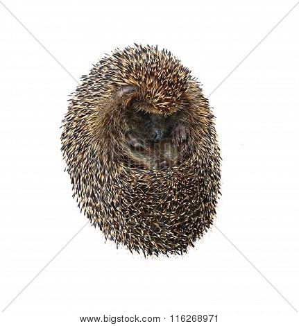 Little Forest Hedgehog Lying On His Back Isolated