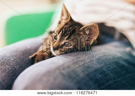Cute Tabby Pussycat Lying Down On Lap