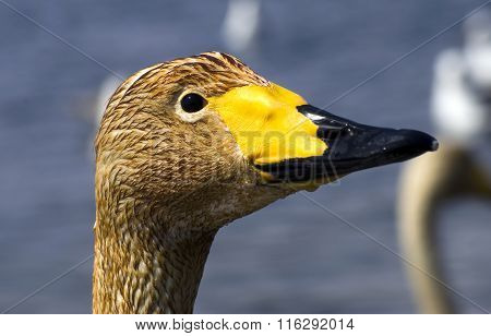 young whooper swan