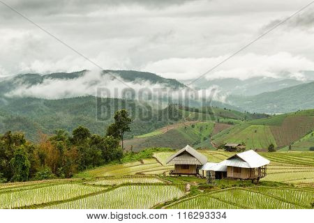 Cottage Rice Fields