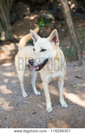white starve dog in rural of Thailand