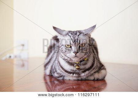 American Short Hair Cat In Bad Feeling