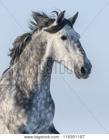 Vertical portrait of a gray horse on blue sky background