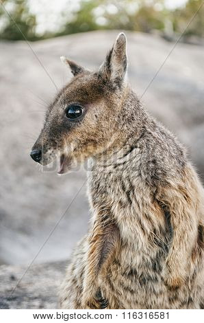 Wallaby In Australia