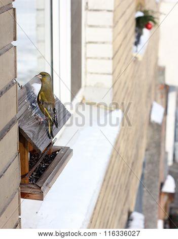 Greenfinch bird sat on the feeder