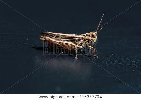 One Beautiful Grasshopper