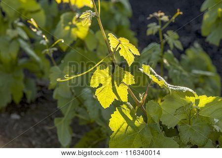 Vineyard In Lanzarote Island, Growing On Volcanic Soil
