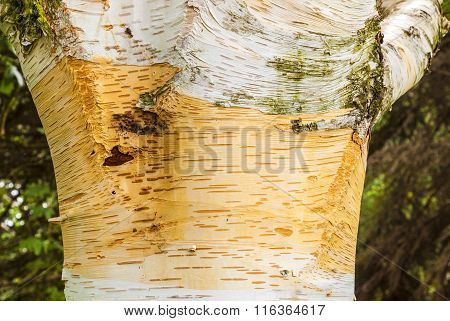 Detail Of Birch Tree Bark