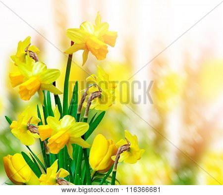 Spring Landscape. Beautiful Spring Flowers Daffodils.