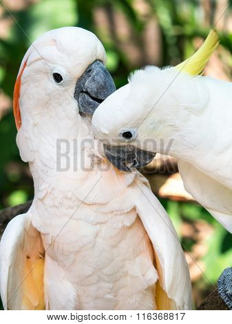 Lovely Cockatoo