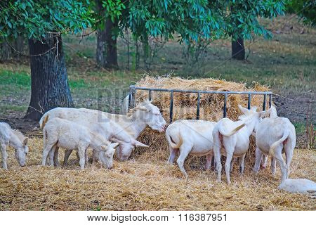 White Donkeis Eating Hay