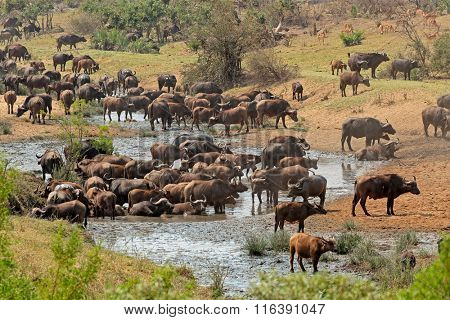 Large herd of African buffaloes (Syncerus caffer) at a river, Kruger National Park, South Africa