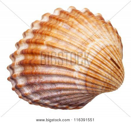 Bivalvia Mollusc Shell Isolated On White