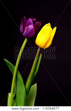 Yellow And Purple Tulips