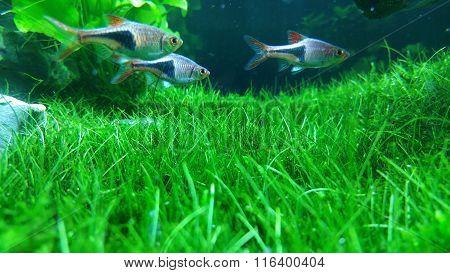 Green planted aquarium