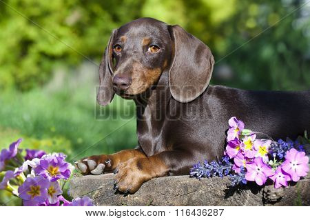 spring flowers and a dachshund on a background of the garden