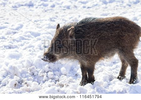 Pig Wild Boar Looking For Food In Snow