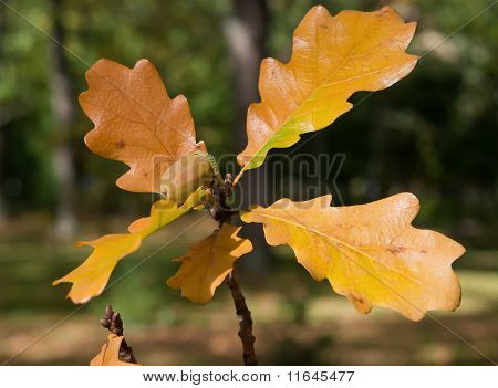 Acorn On Branch