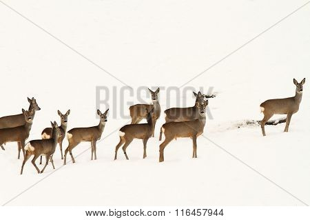 Big Herd Of Roe Deers