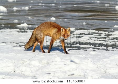 Colorful Fox Walking On Ice