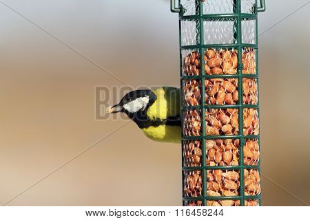 Great Tit Eating Peanuts