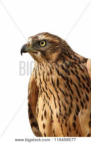 Isolated Portrait Of  Eurasian Sparrowhawk