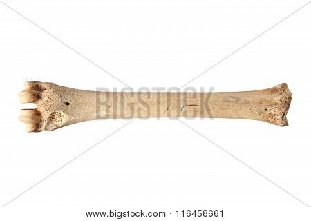 Isolated Roe Deer Cannon Bone