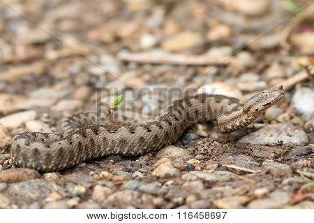 Juvenile European Nose Horned Viper