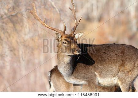Outdoor Portrait Of Fallow Deer Buck