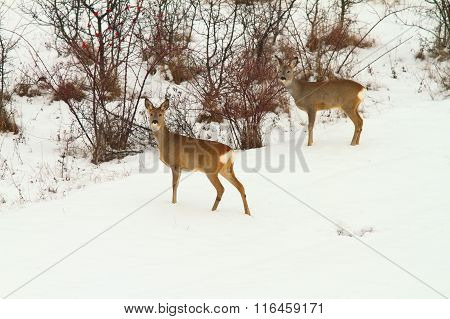 Roe Deers In The Snow