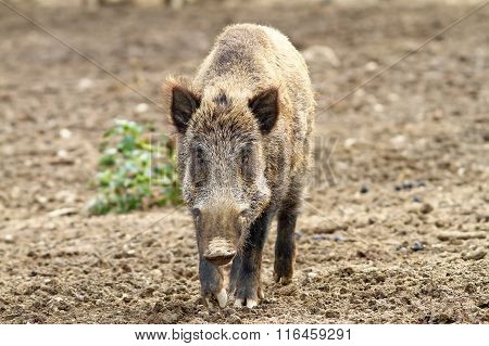 Wild Boar Looking Towards Camera