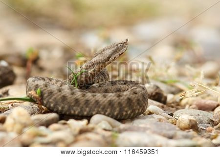 Young Horned European Viper On Ground