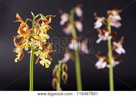Calanthe discolor flower