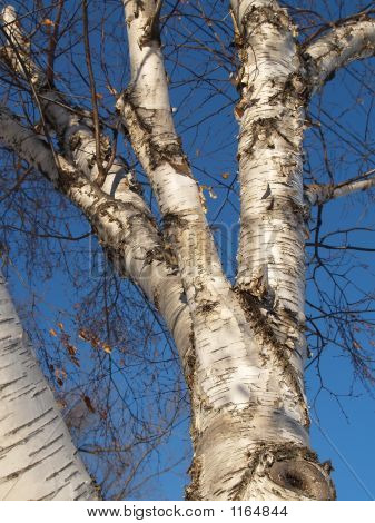 Winter Birch Tree