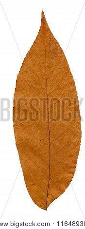 Pressed And Dried Leaf Manchurian Walnut.