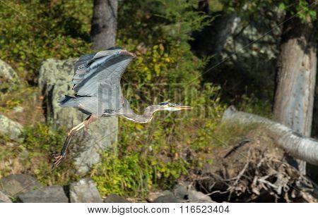 Blue Heron Takes Off