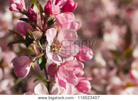 Focus On Apple Blossom